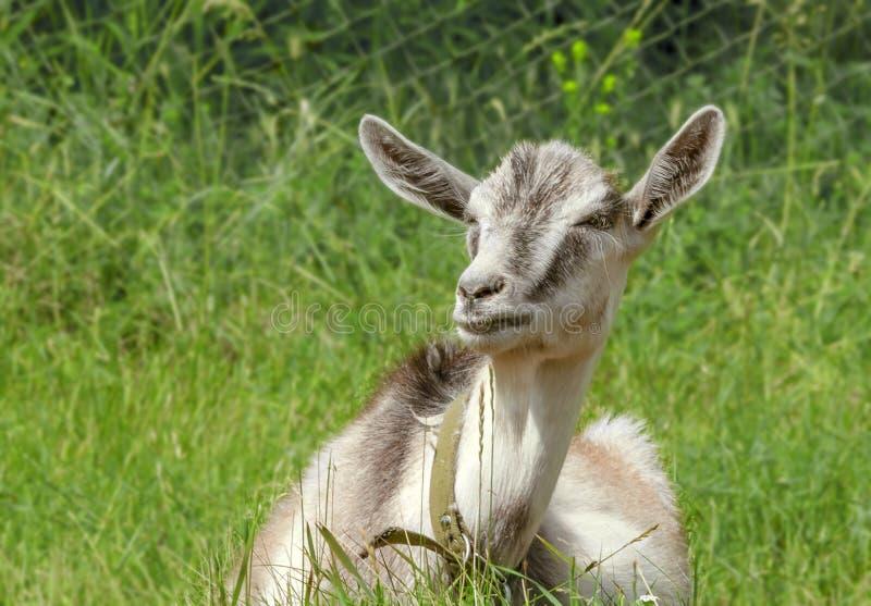 La giovane capra si trova su una radura verde in un giorno soleggiato dell'estate Animali da allevamento sul pascolo fotografie stock libere da diritti