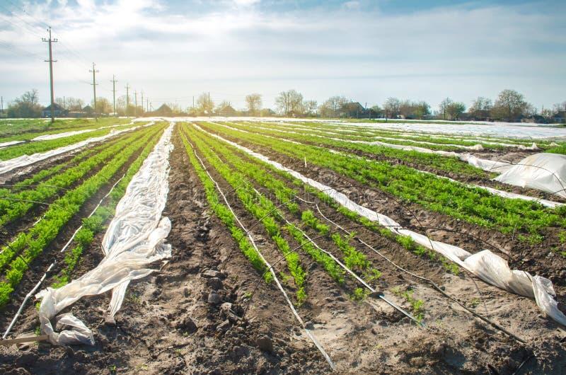 La giovane carota si sviluppa in piccole serre sotto il film plastico sul campo semenzali Piantagioni di verdure organiche agrico immagini stock libere da diritti
