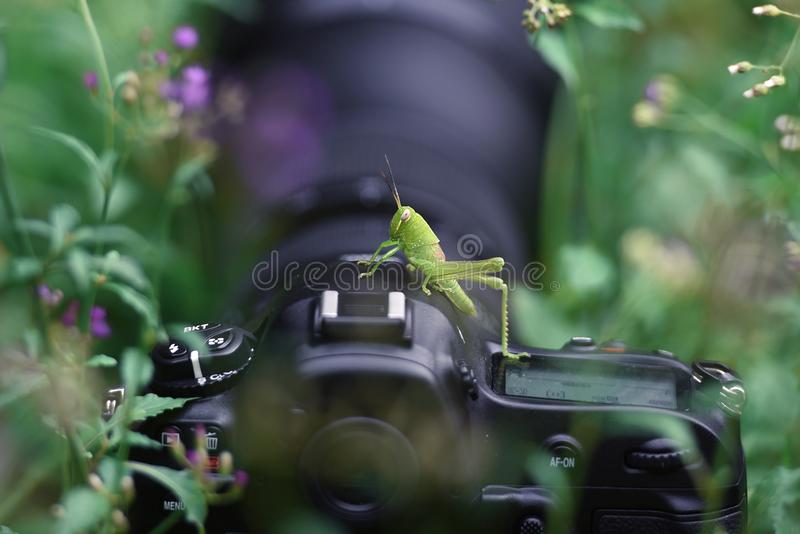 La giovane cavalletta verde appollaiata su una macchina fotografica fra l'erba fotografia stock