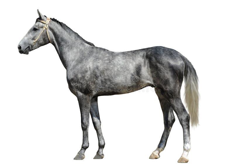 La giovane condizione grigia del cavallo isolata su fondo bianco immagine stock libera da diritti
