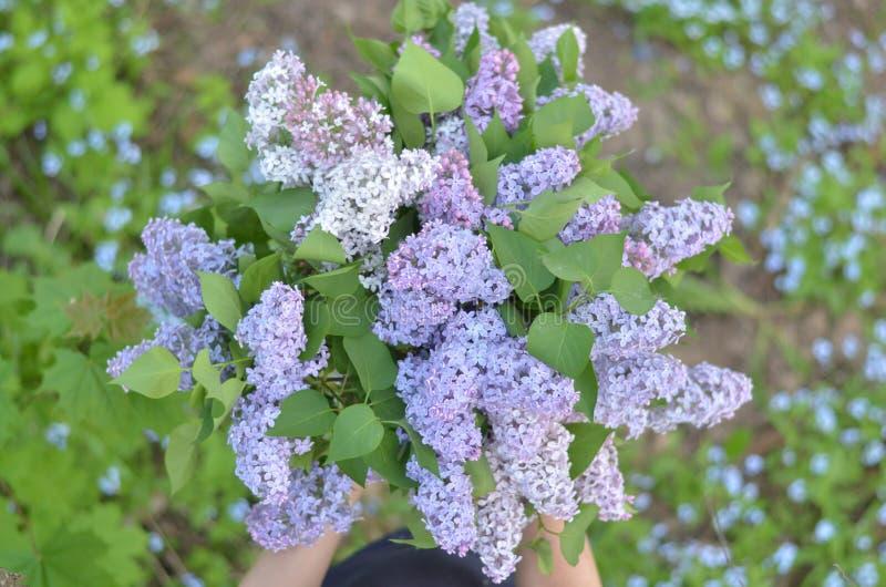 La giovane donna che tiene un mazzo di viola ha colorato i ramoscelli lilla in mani Parti del corpo, fuoco molle sui fiori lilla immagini stock