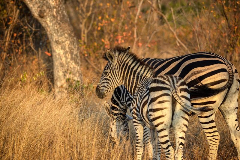 La giovane zebra resta vicino casa immagini stock libere da diritti