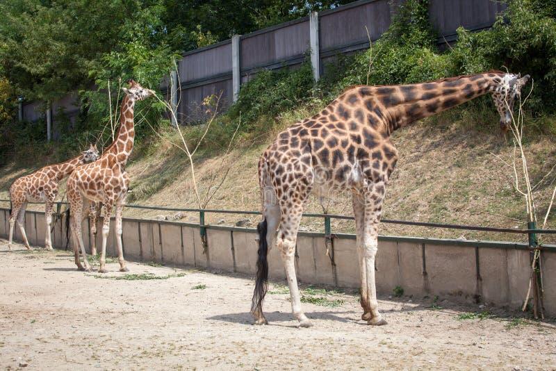 La girafe de Rothschild au zoo Bratislava images stock