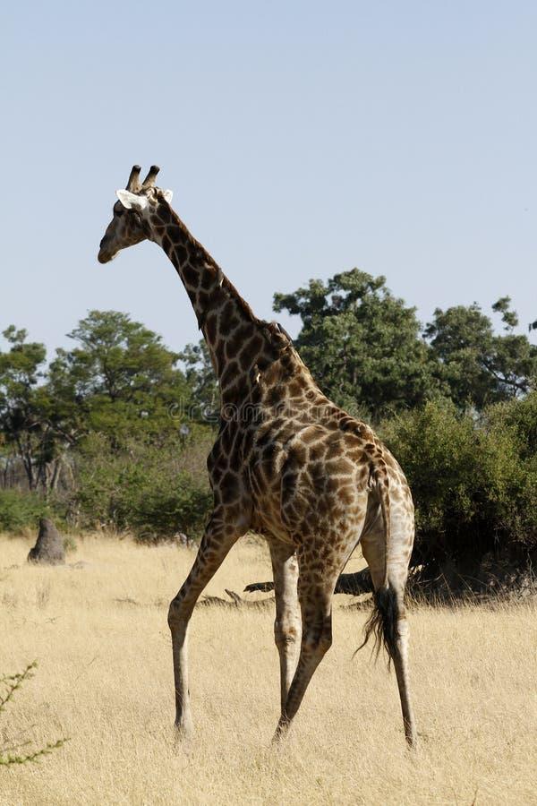 La girafe du sud photo libre de droits