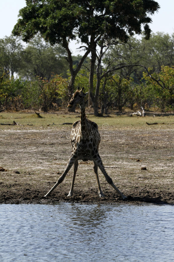 La girafe du sud image stock