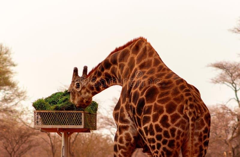 La girafe namibienne de la savane africaine mange de l'herbe verte par beau temps image stock