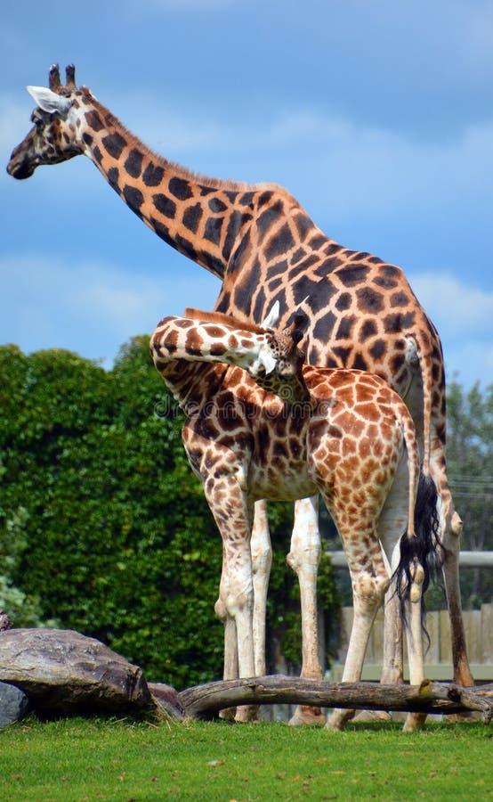 La giraffa è un mammifero degli ungulati uguale-piantato Africano fotografia stock