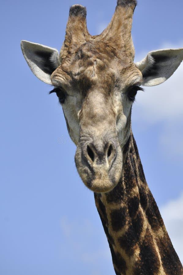 La giraffa fotografie stock