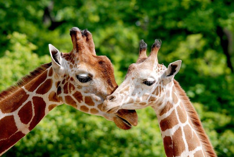 La giraffa immagine stock libera da diritti