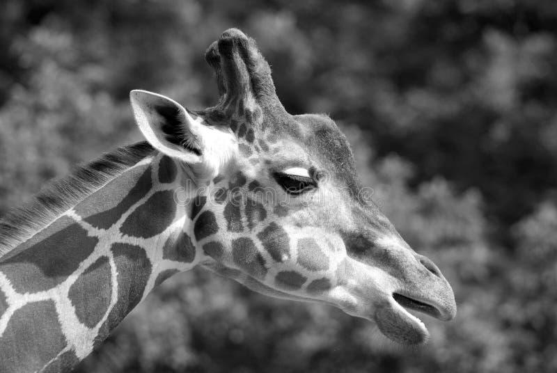 La giraffa fotografia stock libera da diritti