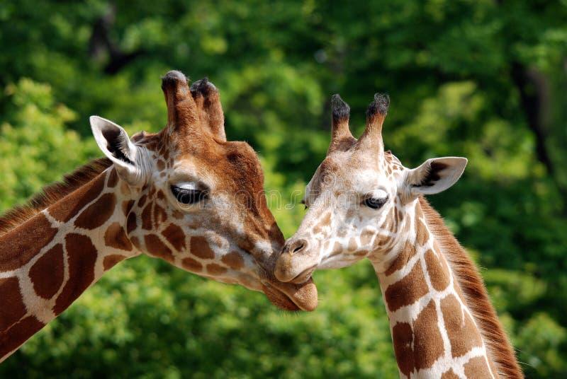 La giraffa fotografie stock libere da diritti