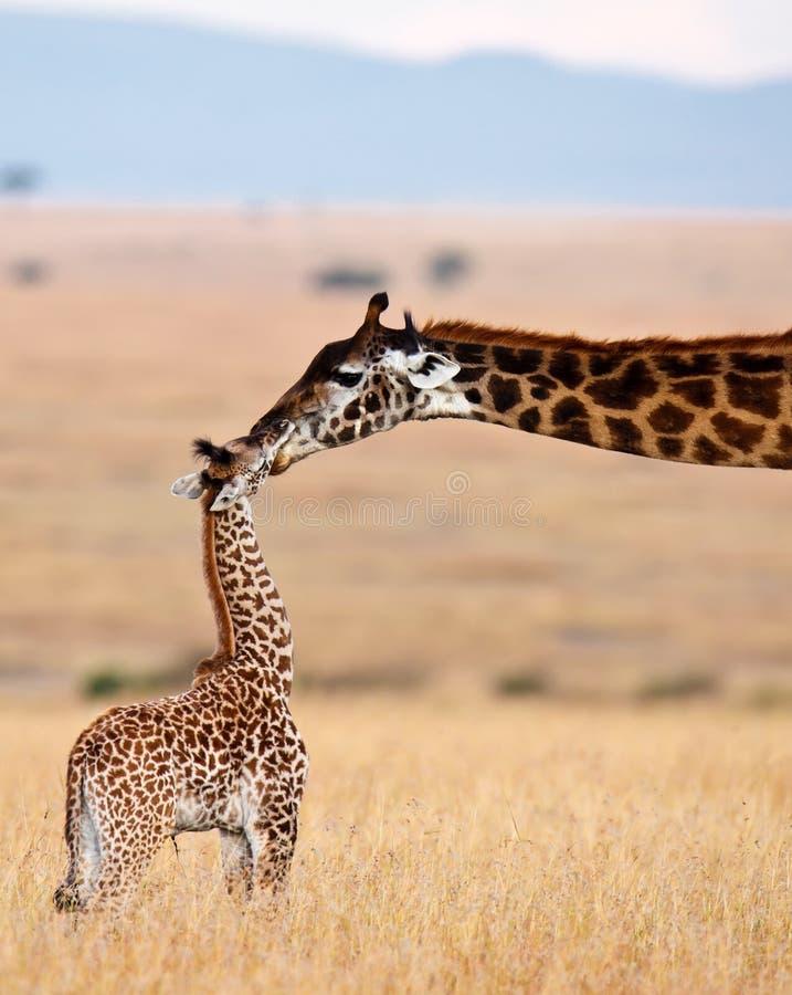 La giraffa della mamma bacia il suo bambino fotografia stock libera da diritti