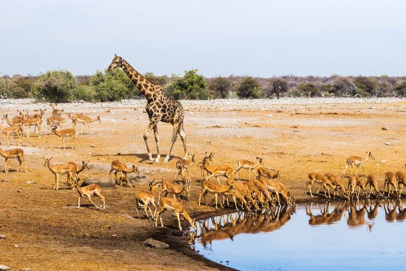 La giraffa ed il nero hanno affrontato il gregge dell'impala al waterhole di Chudop nel parco nazionale di Etosha fotografia stock libera da diritti