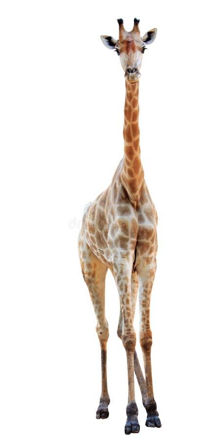 La giraffa lunga femminile del collo ha isolato immagine stock