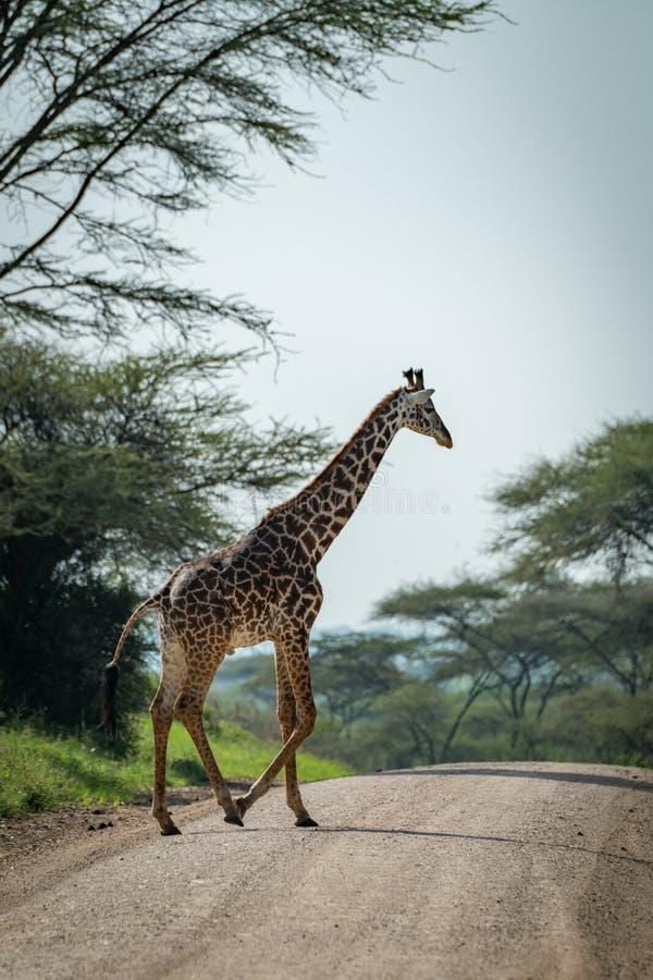 Download La Giraffa Masai Attraversa La Strada Allineata Dagli Alberi Immagine Stock - Immagine di animale, safari: 117975307