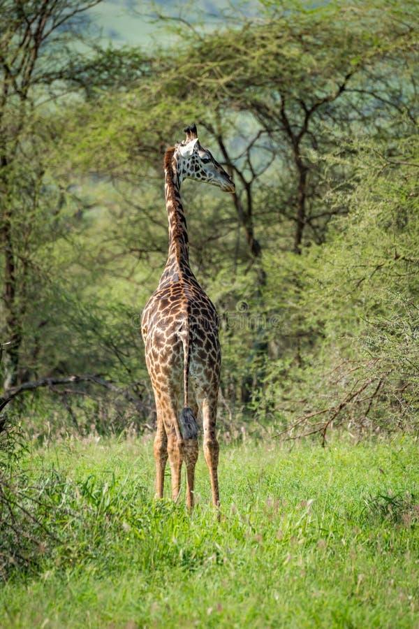 Download La Giraffa Masai Esamina La Spalla Nello Schiarimento Fotografia Stock - Immagine di giraffe, albero: 117975310