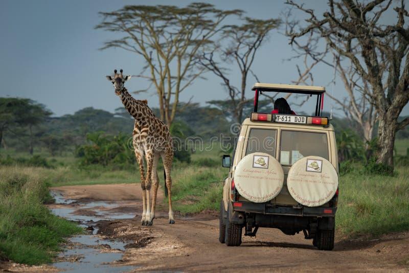 Download La Giraffa Masai Sta Prima Della Jeep Sulla Pista Fotografia Stock Editoriale - Immagine di wildlife, albero: 117975328