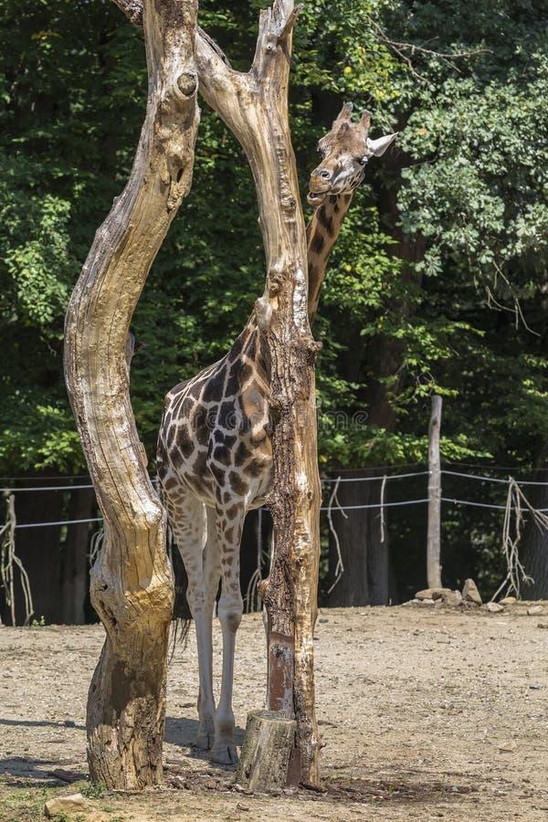 La giraffa mastica i resti della corteccia immagini stock