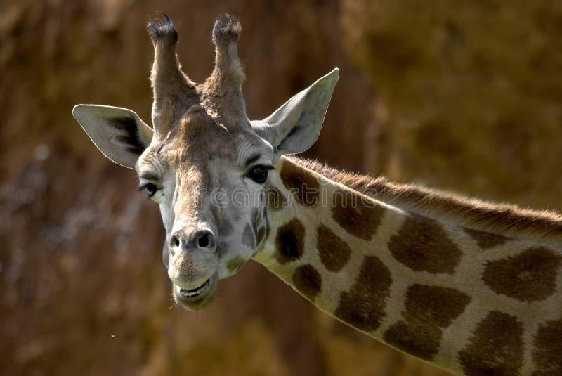 La giraffe de la verticale photo stock