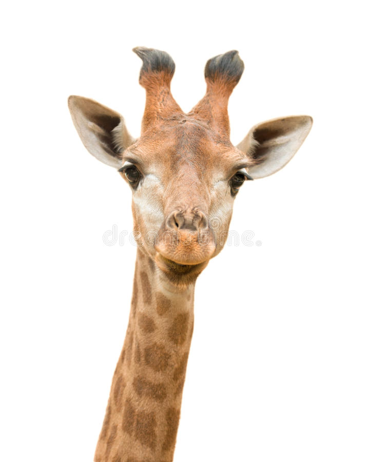 La giraffe a isolé image stock