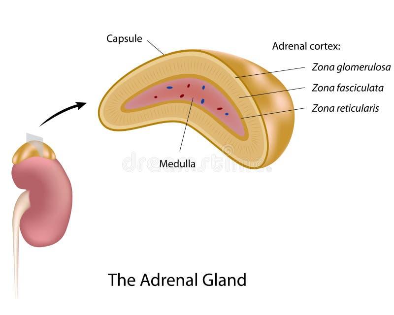 La glándula suprarrenal ilustración del vector. Ilustración de riñón ...