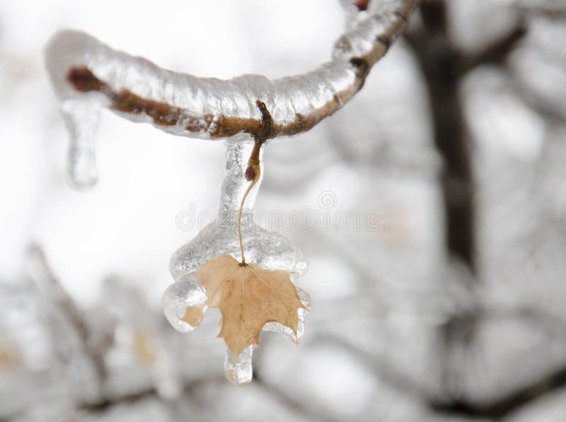 La glace a couvert la feuille d'érable photo libre de droits