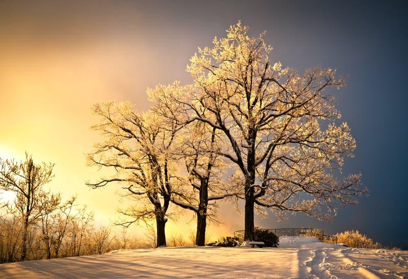La glace et le gel ont couvert l'arbre de chêne dans la neige froide de l'hiver image libre de droits