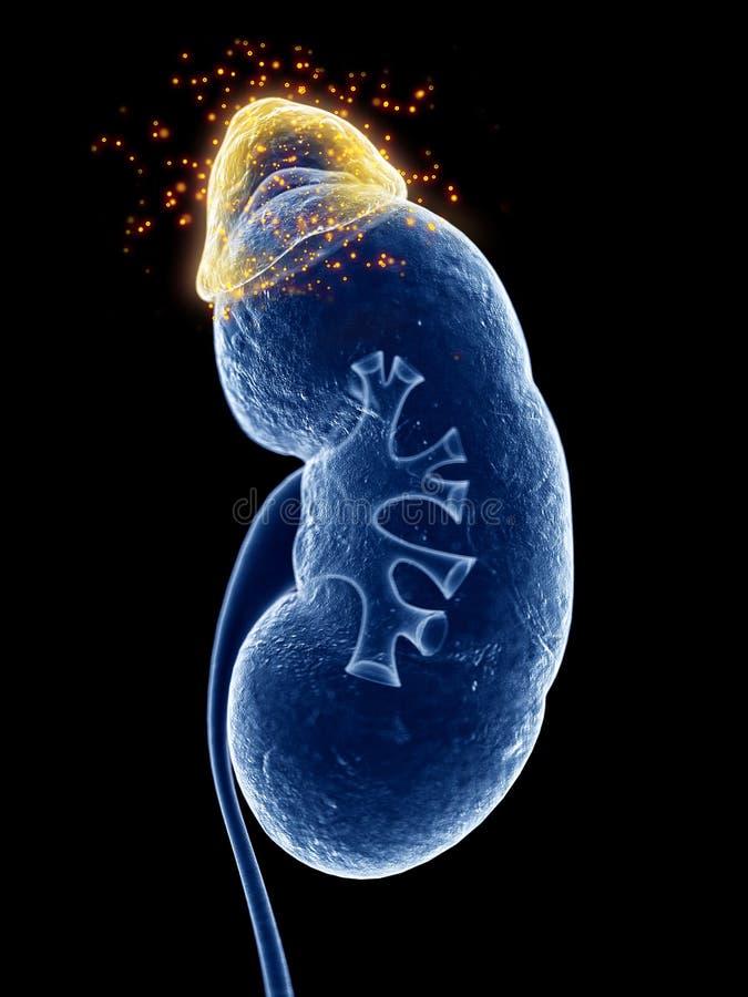 La glande surrénale produisant des hormones illustration libre de droits