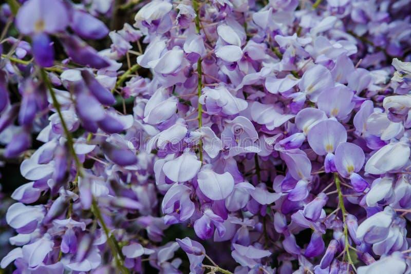 La glicinia hermosa florece la floración en color púrpura en primavera adentro imagenes de archivo