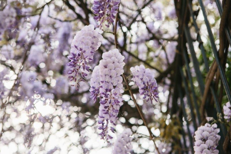 La glycine de fleurs de pourpre se développent comme décoration de la barrière photos libres de droits