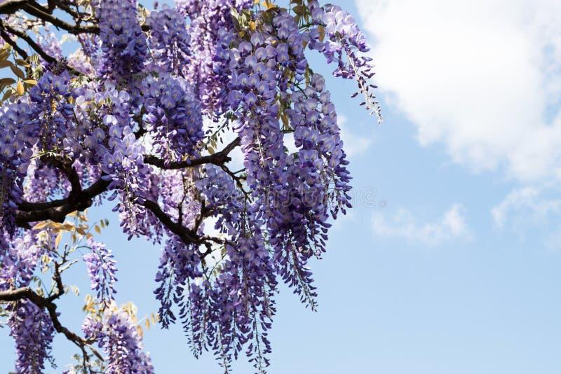 La glycine fleurit la floraison sur un fond de ciel bleu images stock