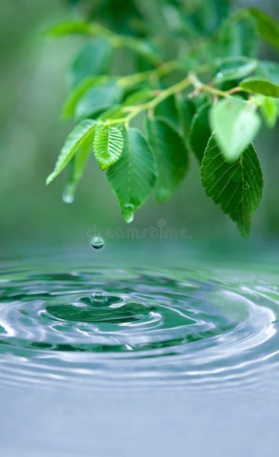 La goccia dell'acqua ed ha bagnato i fogli fotografia stock libera da diritti