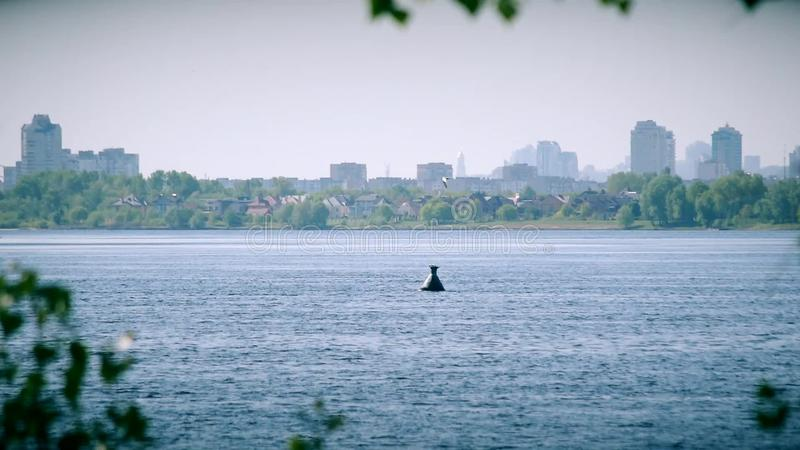 La golondrina de mar vuela en círculos sobre el agua del río de Dnieper almacen de video