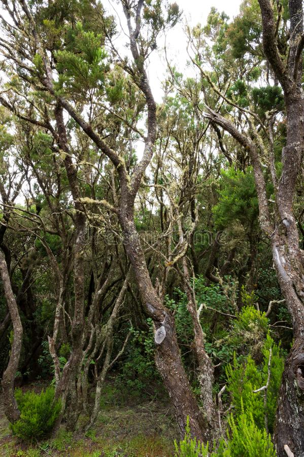 Laurel forest on La Gomera. On La Gomera are probably the most beautiful laurel forests of the Canary Islands royalty free stock photo