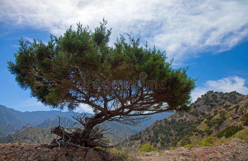 La Gomera, Vallehermoso. Wind-shapes thuja royalty free stock photos