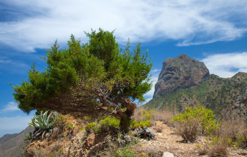 La Gomera, Vallehermoso. Wind-shapes thuja stock image