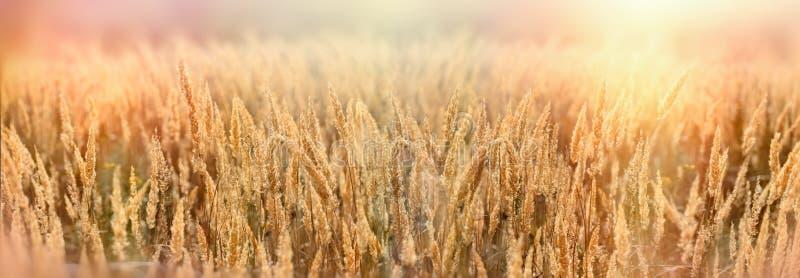 La graine de la belle herbe sèche, herbe dans le pré s'est allumée par lumière du soleil dans la fin de l'après-midi photos libres de droits
