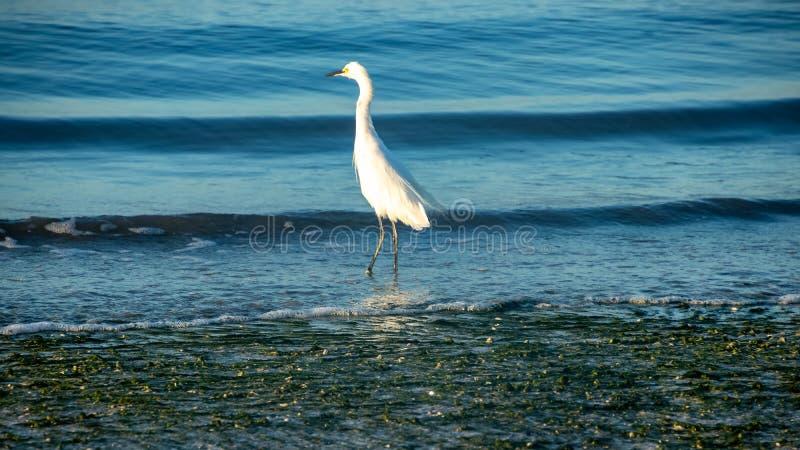 La gran garceta blanca que vadea en el Golfo de México como ondas se estrella en tierra fotografía de archivo