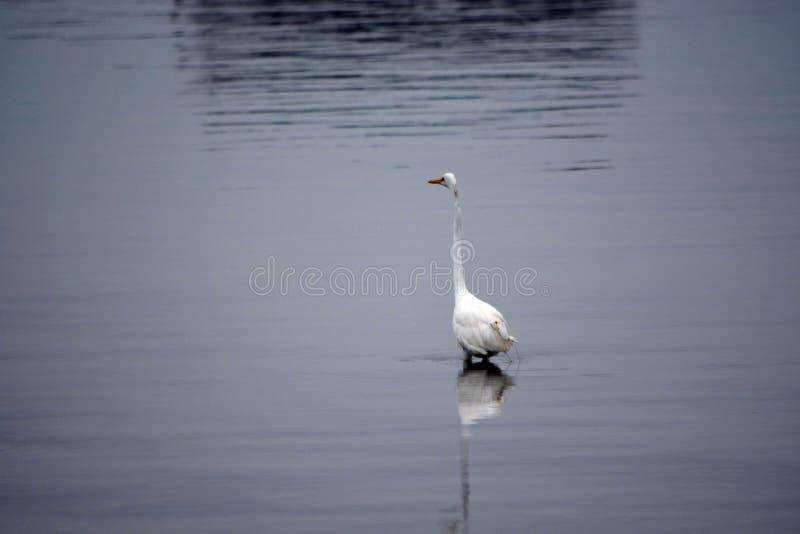 La gran garceta blanca vadea en bahía en la madrugada foto de archivo libre de regalías