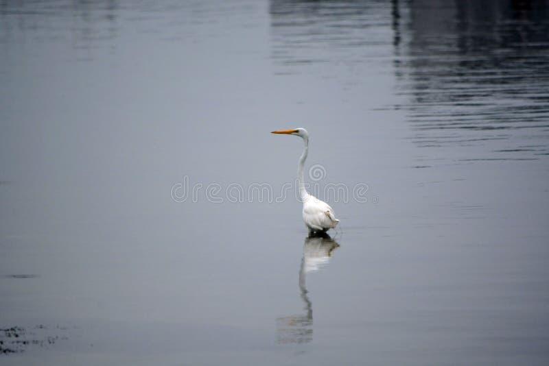 La gran garceta blanca vadea en bahía en la madrugada fotos de archivo libres de regalías