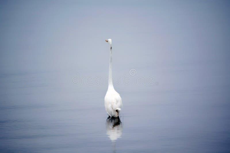 La gran garceta blanca vadea en bahía en la madrugada imágenes de archivo libres de regalías