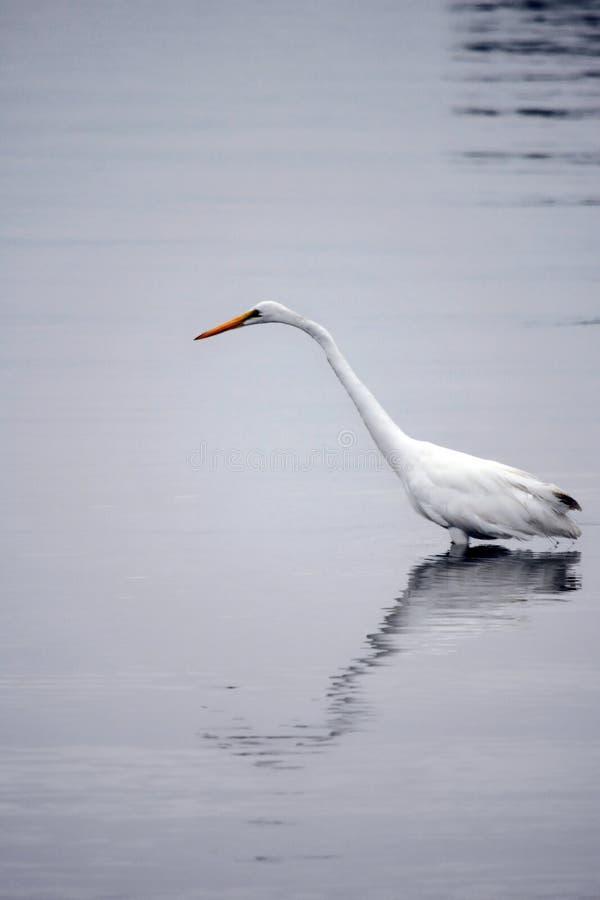 La gran garceta blanca vadea en bahía en la madrugada imagen de archivo libre de regalías