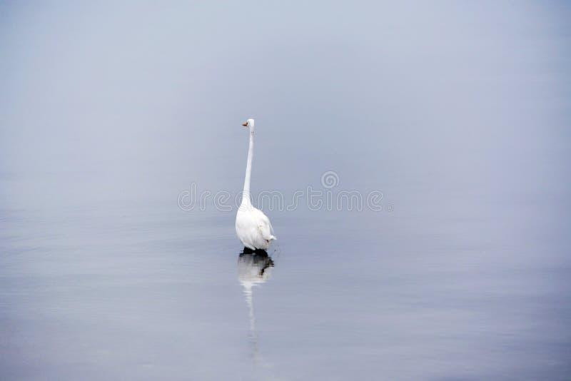 La gran garceta blanca vadea en bahía en la madrugada fotografía de archivo libre de regalías