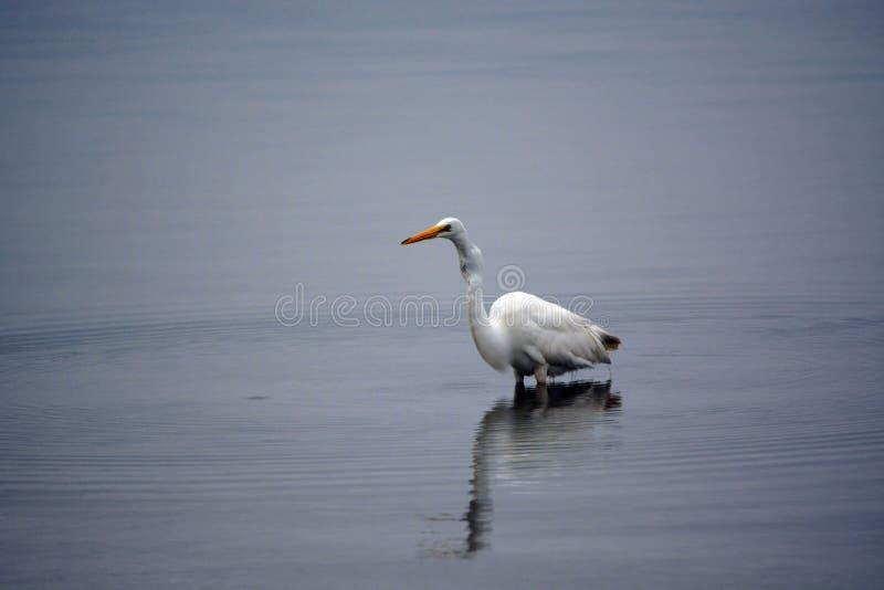 La gran garceta blanca vadea en bahía en la madrugada fotos de archivo