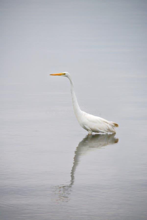 La gran garceta blanca vadea en bahía en la madrugada imagenes de archivo