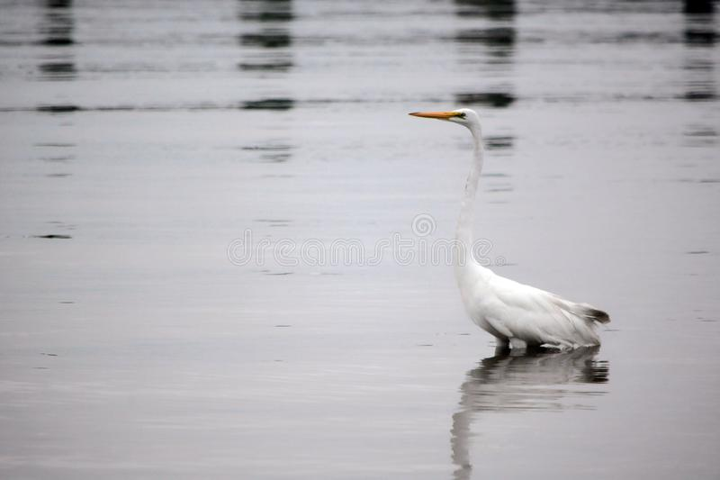 La gran garceta blanca vadea en bahía en la madrugada fotografía de archivo