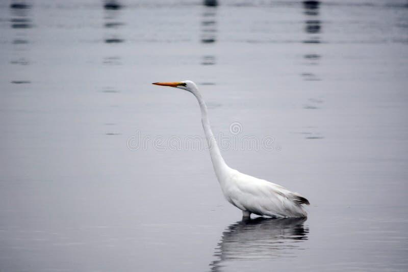 La gran garceta blanca vadea en bahía en la madrugada foto de archivo