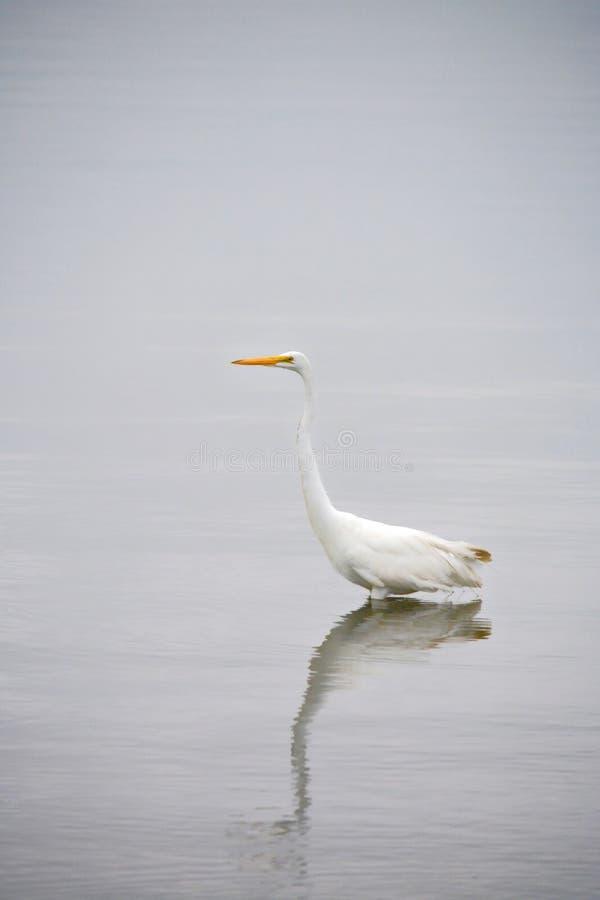 La gran garceta blanca vadea en bahía en la madrugada imagen de archivo