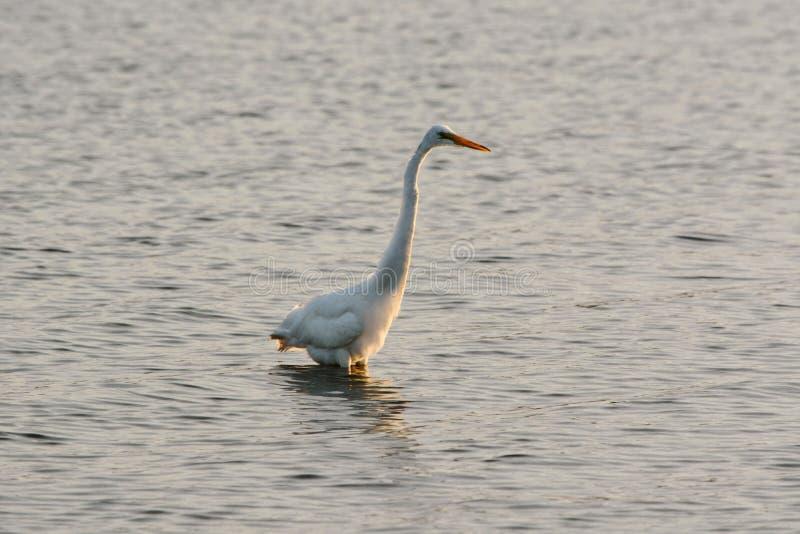 La gran garceta blanca vadea en bahía en la salida del sol foto de archivo libre de regalías