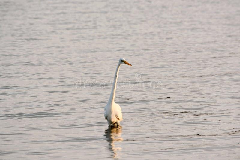 La gran garceta blanca vadea en bahía en la salida del sol foto de archivo